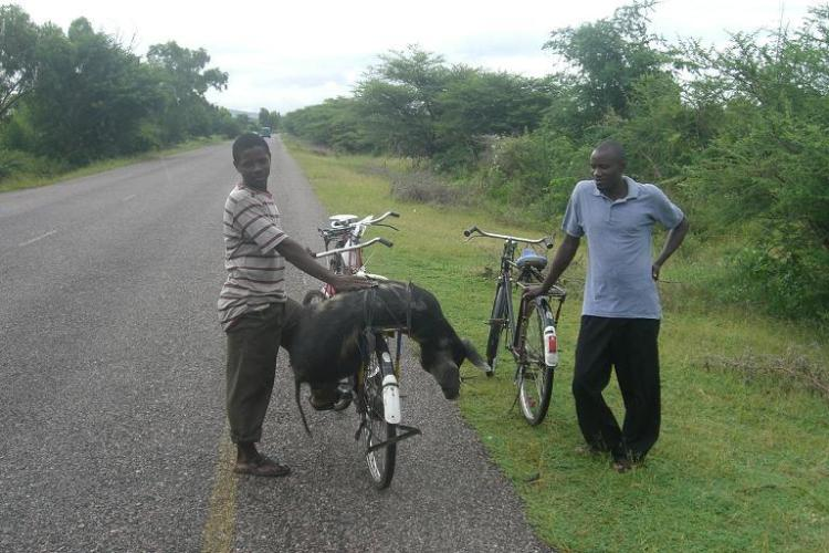 johns-pig-on-bike