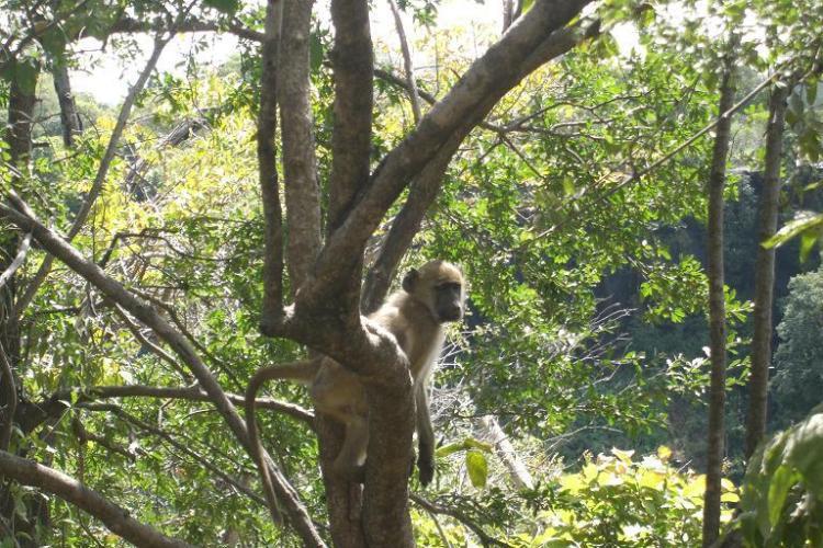 johns-baboon2